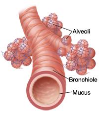 Anatomy of bronchiole and alveoli.