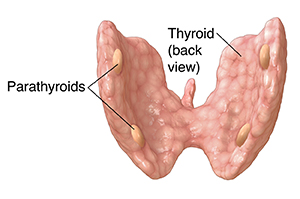 Back view of thyroid showing parathyroids.