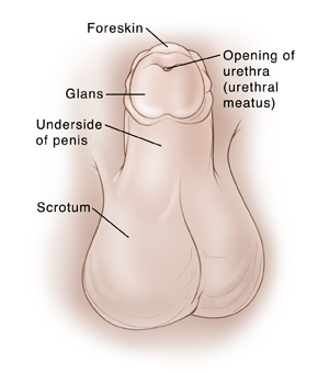 Child's penis with penis pointing up to show underside. Foreskin surrounds glans at top of penis. Scrotum is underneath penis. Opening of urethra is in center of glans. Opening of urethra also called urethral meatus.