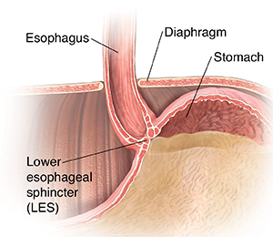 Closeup cross section of lower esophagus.