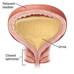 Cross section of normal relaxed bladder showing urine being held in by closed sphincter.