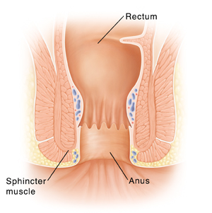 Cross section of rectum and anus.