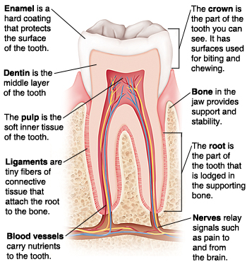 Cross section of tooth in bone. Enamel is hard coating that protects surface of tooth. Dentin is middle layer. Pulp is soft inner tissue. Ligaments are tiny fibers of connective tissue that attach root to bone. Blood vessels carry nutrients to tooth. Crown is visible part of tooth with surfaces for biting and chewing. Bone in jaw provides support and stability. Root is part of tooth lodged in bone. Nerves relay signals such as pain to and from brain.