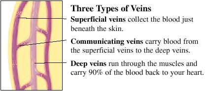 Cutaway view of vein
