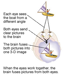 Each eye sees the object from a different angle. Each eye sends its picture to the brain where it is fused into one 3D image.