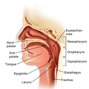 Side view of head showing mouth and throat anatomy.
