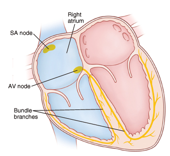 Cross section of heart showing the electrical system.