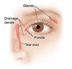 Front view of eye showing tear glands and drainage anatomy.