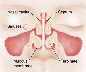 Front view of face showing sinuses and septum.
