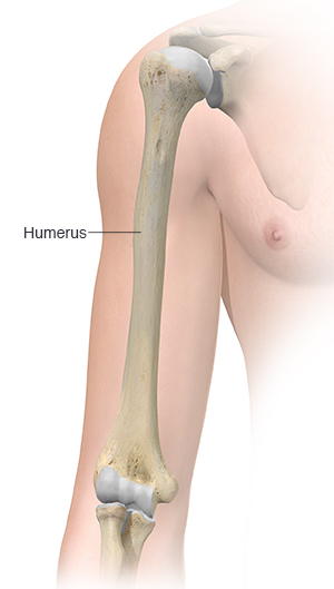 Front view of upper arm showing humerus.