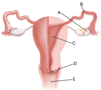 Front view of vagina, cervix, uterus, fallopian tubes, and ovaries.