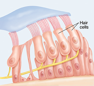 Hair cells in the cochlea.