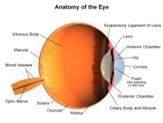 Illustration of the anatomy of the eye.