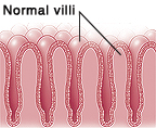 Closeup cross section of normal intestinal villi.