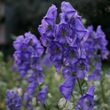 ../../images/ss_aconite.jpg