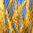 ../../images/ss_barley.jpg