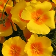 ../../images/ss_californiapoppy.jpg