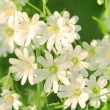 ../../images/ss_chickweed.jpg