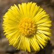 ../../images/ss_coltsfoot.jpg
