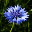 ../../images/ss_cornflower.jpg