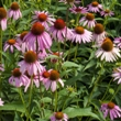 ../../images/ss_echinacea.jpg