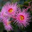 ../../images/ss_eucalyptusoil.jpg