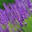 ../../images/ss_lavender.jpg