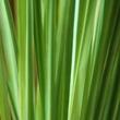 ../../images/ss_lemongrass.jpg