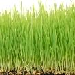 ../../images/ss_wheatgrass.jpg