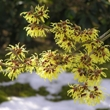 ../../images/ss_witchhazel.jpg