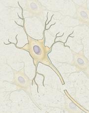 Nerve fibers.