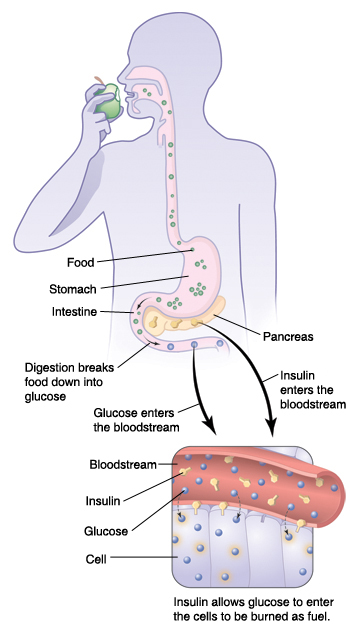 Outline of body and inset of blood vessel and cells showing how insulin and glucose work together.