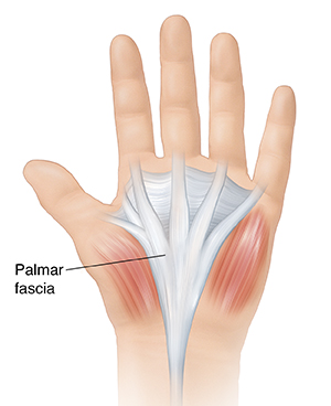 Palm view of hand showing palmar fascia.