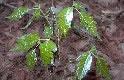 Poison Oak Plant