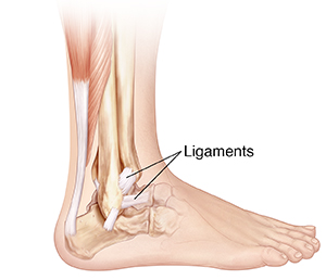 Side view of bones of lower leg and foot showing ligaments.