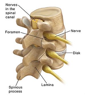 Three-quarter back view of three lumbar vertebrae