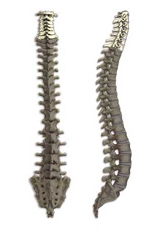 Cervical spine illustration