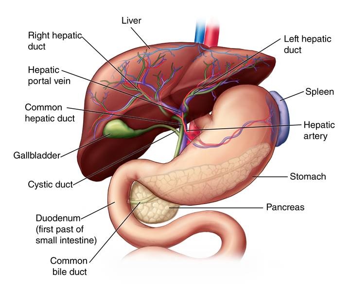 Liver Anatomy And Functions Staywell Api Web Examples