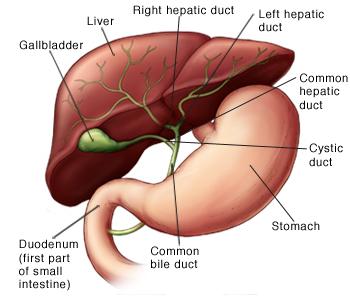 ductus hepaticus sinister