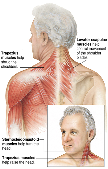 your neck muscles, Human Body