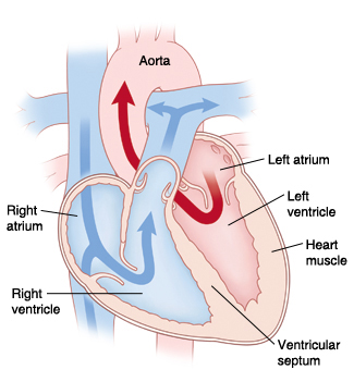 Cross section of heart showing blood flow through atria and ventricles.