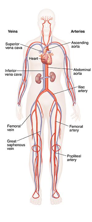 Understanding Circulation | Saint Luke's Health System