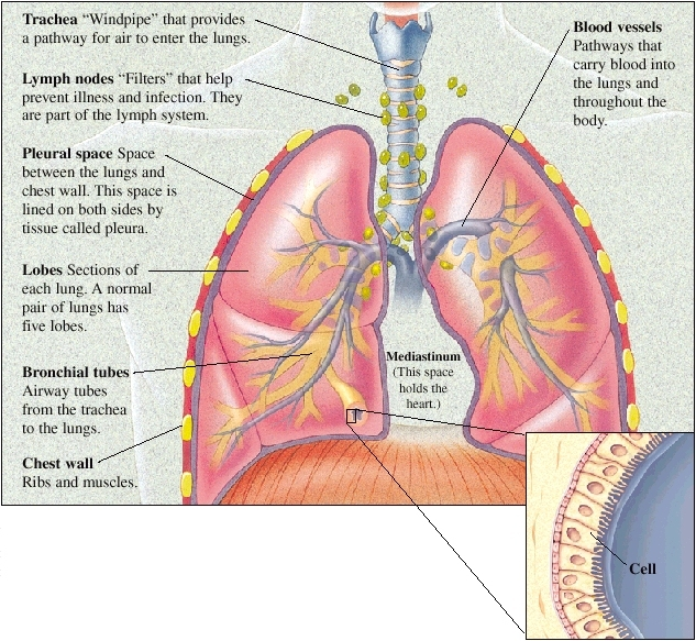 Lung Anatomy Saint Lukes Health System