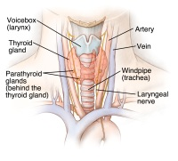 Illustration of the thyroid glad and its location