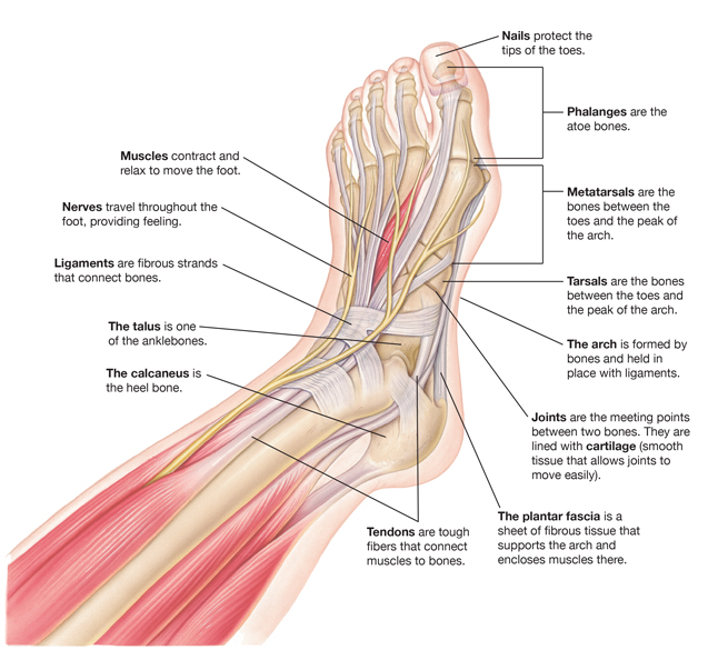 Parts of a Foot | Saint Luke\'s Health System