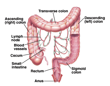 Illustration to show how food moves through the colon.