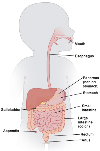 Anatomy Of The Pediatric Digestive System Saint Lukes Health System