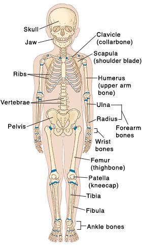 Pediatric Skeletal Anatomy Saint Lukes Health System