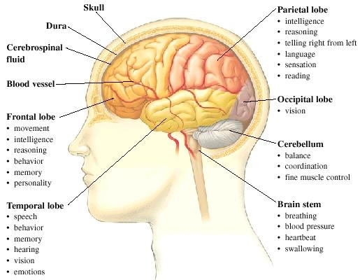 Anatomy of the Brain | Saint Luke's Health System