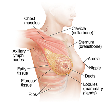 Breast Anatomy Saint Lukes Health System